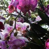 Orchids of Thailand