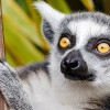 Lemur Mom