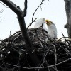 The Bald Eagle Watch